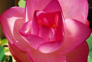 Lotus_AFHawaii